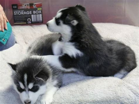 siberian husky puppies for sale in md siberian husky puppies for sale maryland city md 196728