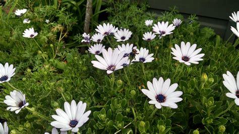 full sun perennials osteospermums for fabulous color