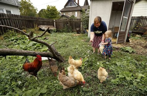 chickens for eggs in backyard backyard chicken trend leads to more salmonella infections