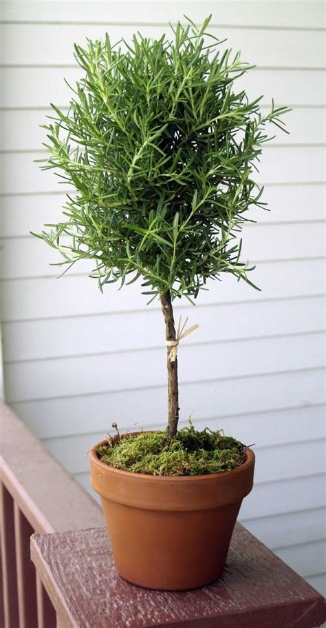 Artificial Topiaries - live rosemary 17 quot single ball topiary