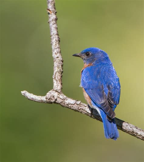 eastern bluebird roads end naturalist