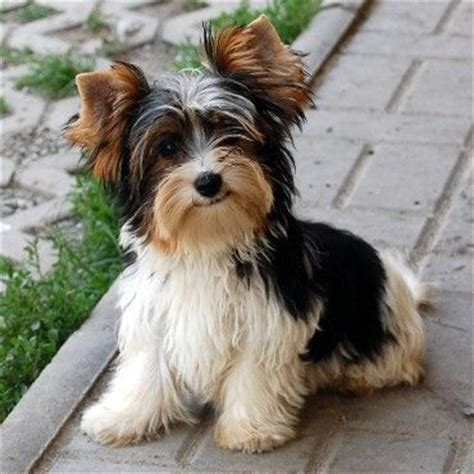 biewer terrier haircuts biewer yorkshire 3 filhotes 1 pinterest chang e 3