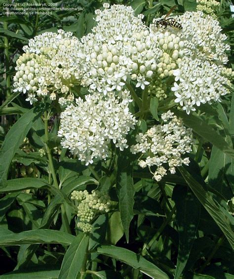 plantfiles pictures asclepias sw milkweed rose