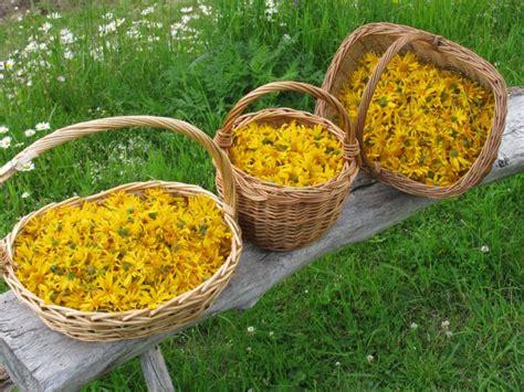 fiori di arnica apicoltura pavesi elisa