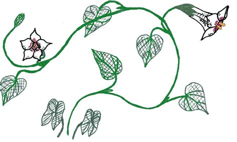 Drawing Vines by File Potato Vine Drawing Emv20031126 Jpg