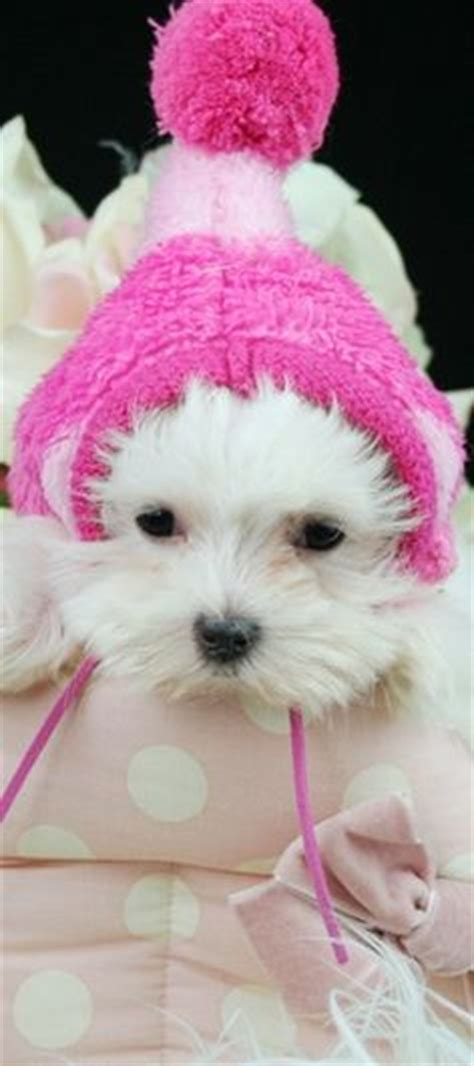 teacup maltese puppies for sale in az supper tiny teacup maltese puppies for sale and tiny maltese vet checked
