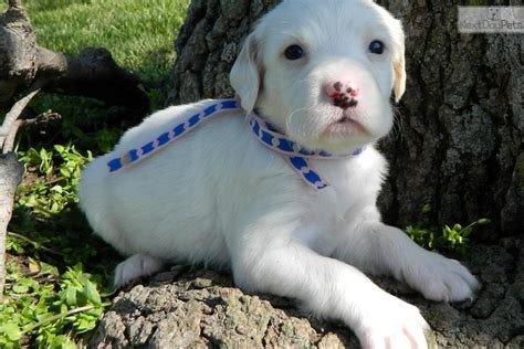 setter dogs kansas english setter puppy for sale near southeast ks kansas