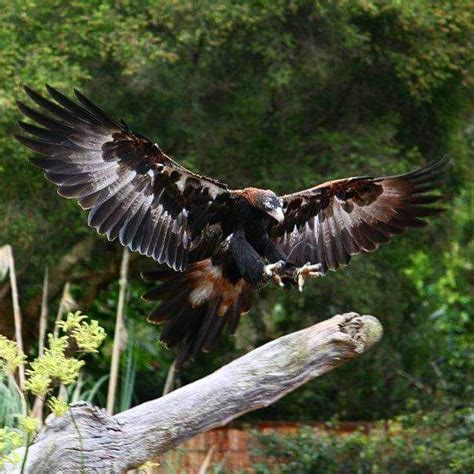 Australian Wedge Tailed Eagle Gives You Some Ideas Of The - 14 best wedge tailed eagle images on wedge