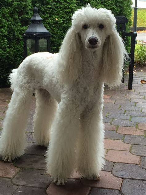 Do Standard Poodles Shed 327 best images about maltese and poodles on