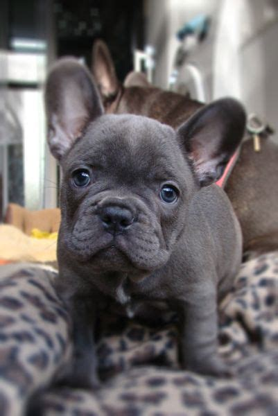 grey bulldog puppy gallery bulldog puppy grey