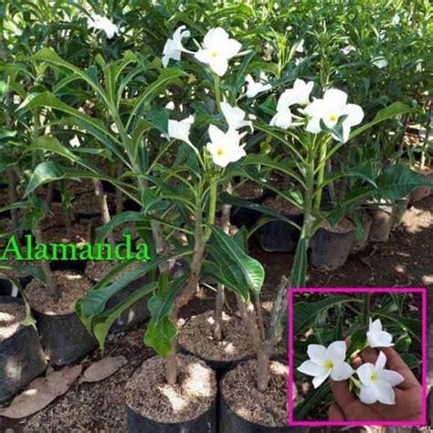 jual tanaman hias pagoda putih hp 085608566034