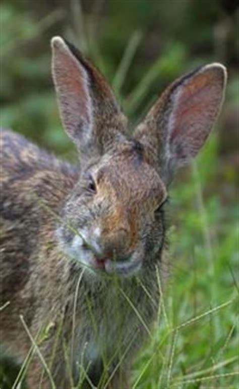 new year rabbit facts rabbit facts for interesting information about