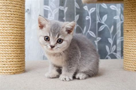 shorthair cat your cat shorthair cat breed profile cat breed