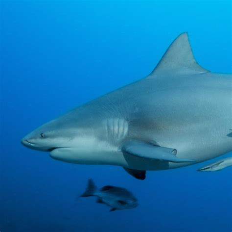 Shark In The bull shark national geographic