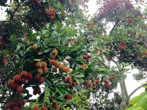 Bibit Rambutan Kapulasan pohon buah rambutan www pixshark images galleries