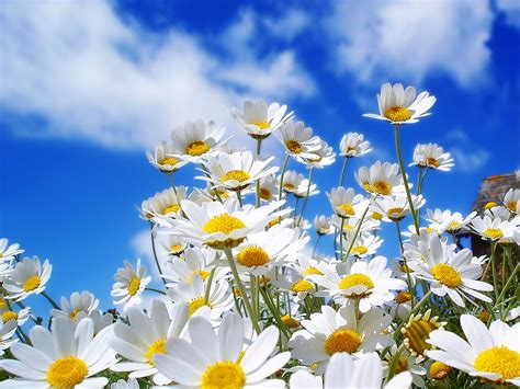 pretty spring pictures beautiful nature pictures spring daisy wallpaper