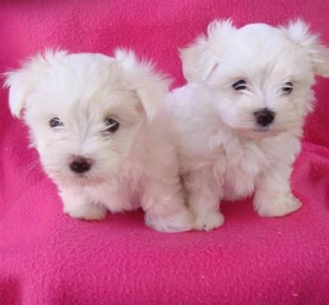 maltese teacup puppies for sale teacup puppies unde 100 for sale united states pets 7