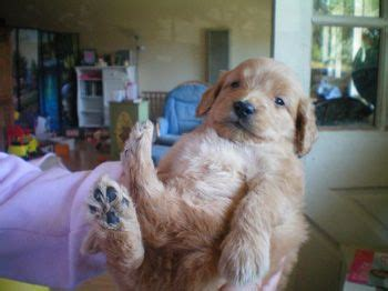 mini goldendoodles northern california best 25 goldendoodle breeders ideas on puppy