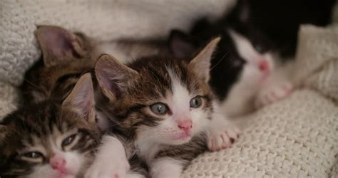 Cat Siblings Wooden Clip tabby kittens sleeping peacefully together on