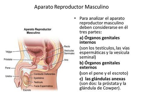 cuales son las partes del pene definicion de aparato reproductor masculino