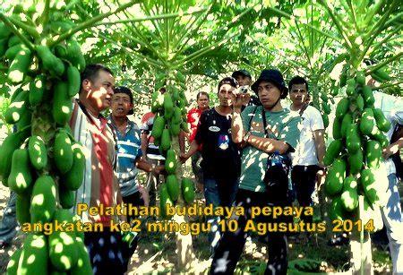 Jual Polybag Yogyakarta berbagi ilmu budidaya pepaya penyedia bibit dan jual