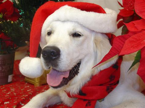 what are white golden retrievers called meet our dogs white golden retriever dogs puppies breeders florida