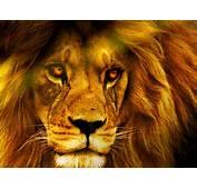 Best Resolution Wallpaper Lion HD