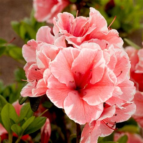 encore azalea 3 gal autumn sunburst 80693 the home depot