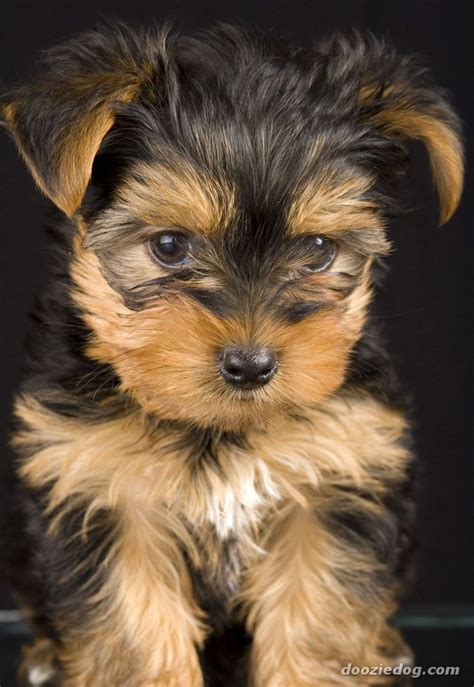 pics of yorkies puppies terrier puppy 11 jpg