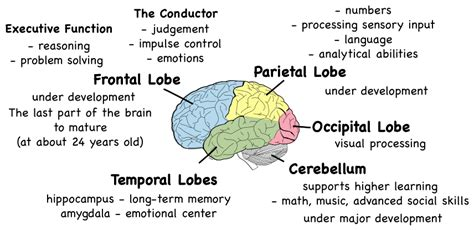 sections of the brain and what they control adolescent development montessori muddle