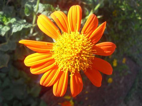 the scientific gardener mexican sunflower tithonia