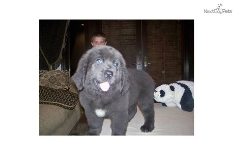 gray newfoundland puppies for sale gray newfoundland puppy for sale breeds picture