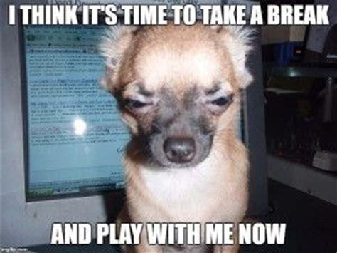 funny chihuahua memes dog memes chihuahua dogs