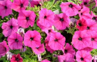 petunias how to plant grow and care for petunias the
