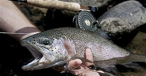 pa fish and boat species pennsylvania s 2006 trout forecast