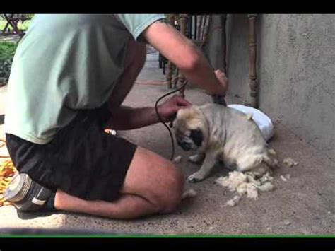 how to shave a pug how to shave a pug step by step tutorial