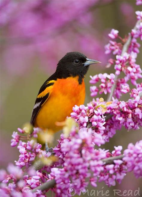 how to attract baltimore orioles to your backyard 17 best ideas about baltimore orioles birds on