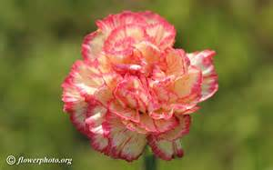Carnation Flowers Carnation In Bloom Picture