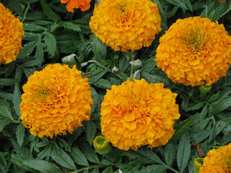 marigolds shade bedding plants