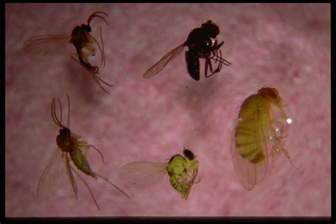 Small Flies Tiny Gnats In House