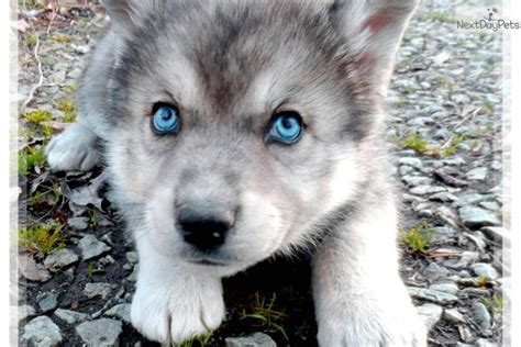 wolf puppies for sale wolf puppies for sale in california breeds picture