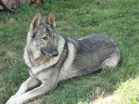 silver german shepherd 25 best ideas about german shepherd on black german shepard