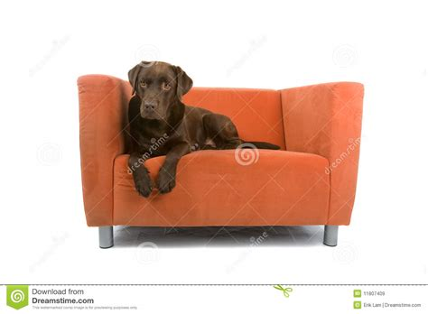 hund sofa on sofa royalty free stock images image 11807409