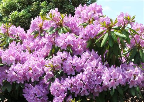 light purple flowers image flowers in bloom green 17 best images about beautiful broadleaf evergreens on