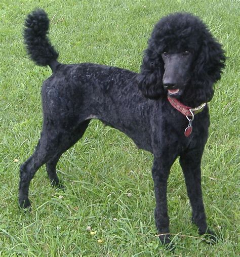 black poodle puppy poodle characteristics temperament grooming and pictures inspirationseek