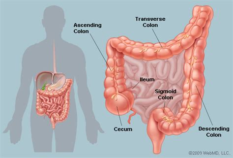 sections of the colon picture of the human colon anatomy common colon conditions