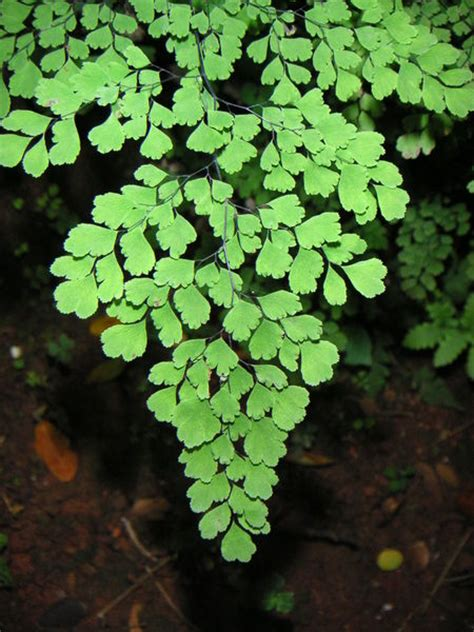 how to grow maidenhair ferns garden guides