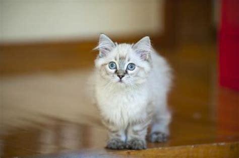 ragdoll cat price how much do ragdoll cats cost cuteness