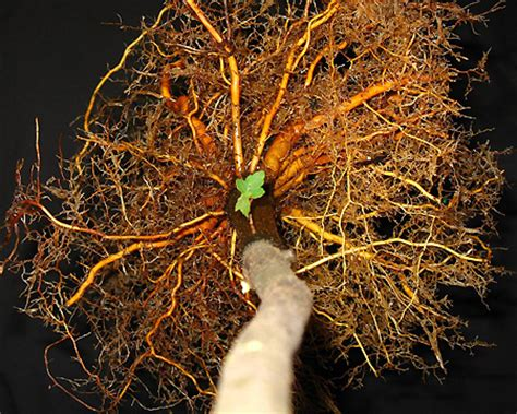 lateral root spread roots growth after planting roots landscape plants edward f gilman