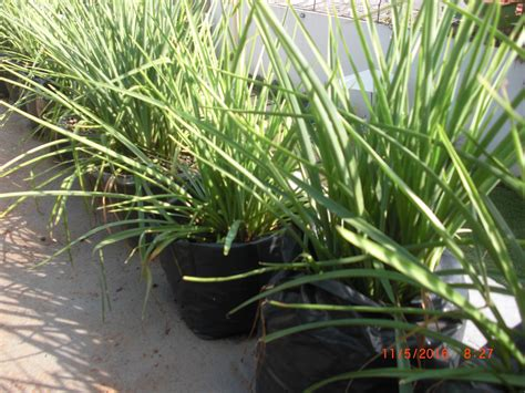 Bibit Bunga Matahari Jakarta bibit tanaman jakarta